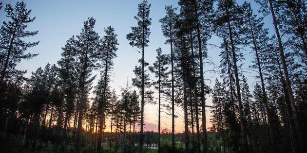 Varning för omfattande skogsdöd i norr