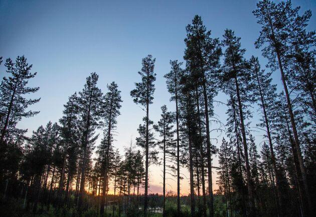 Älgar och svampangrepp hotar stora delar av skogen i norr. Arkivbild.