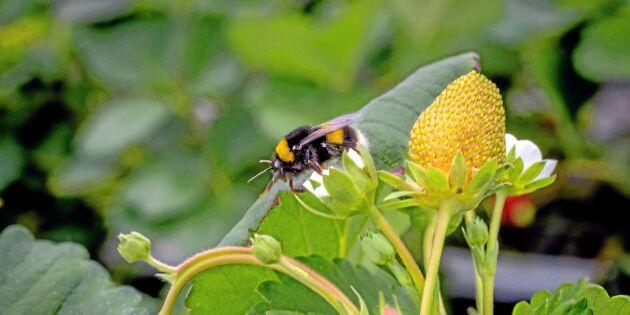 Svenska humlor odlas för pollinering