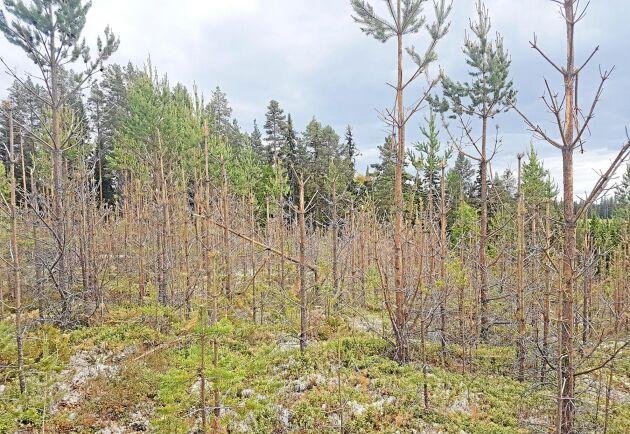 Cirka 30 hektar tallungskog i trakten kring Kramfors i Västernorrland har i det närmaste totalförstörts av betande älgar.