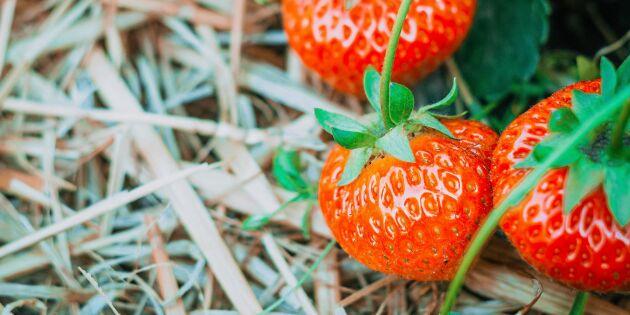 Så skyddar du en mognande jordgubbe