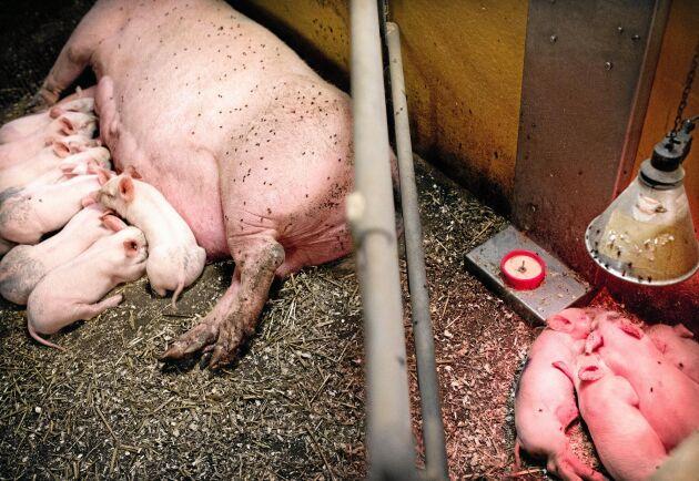 Digitala mikrofoner ska hjälpa till att upptäcka sjukdomar i grisstallen.