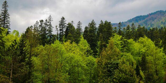 Ikeas bolag inför rätta om rumänskt skogsköp