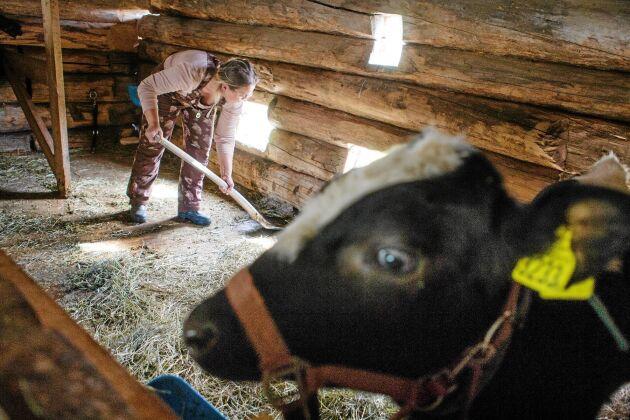 På grund varg och björn i trakten tas djuren inomhus på nätterna och släpps ut på mornarna. Då passar Linda på att mocka rent.
