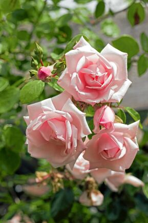 1) Klätterros, Rosa Wichurana-gruppen, 'New Dawn' är en härdig, frisk och yvig ros som blommar länge. Den har ljusrosa fyllda blommor som doftar svagt men sött.