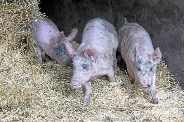 Sommarens torka har gjort att det är brist på halm och i stället har Edsbergs gård köpt in spån som bädd.