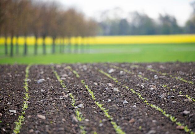 Det blir mer sockerbetor på gården i västra Skåne, tack vare den extra bonus Nordic Sugar erbjuder till odlare som ökar betodlingen med mer än 10 procent.
