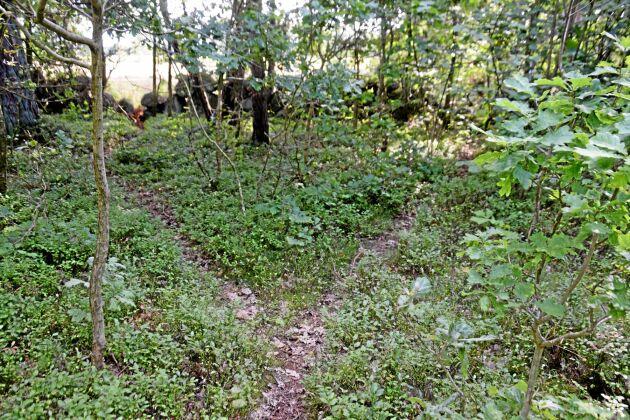 Det finns mycket att visa i skogen. Här går rådjuren så ofta att det blivit smala stigar.