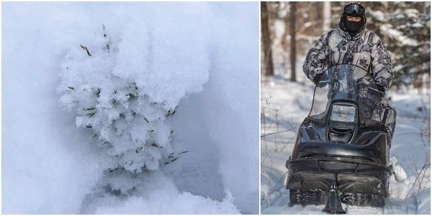 Snöskoteråkare skadar skogsplanteringar