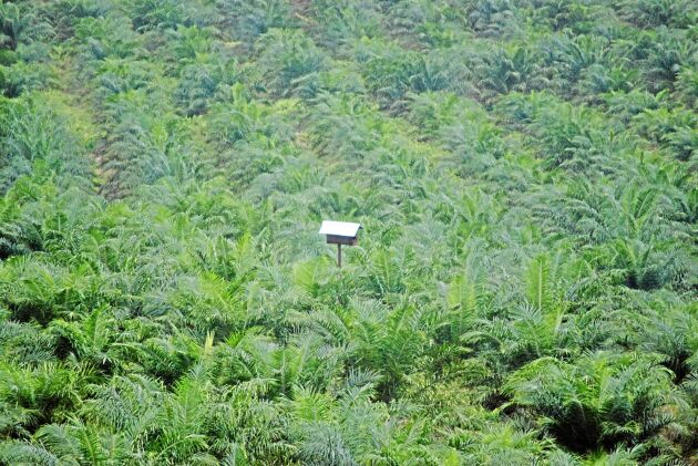 Biologisk bekämpning med ugglor - uggleholk i ett hav av oljepalmer.