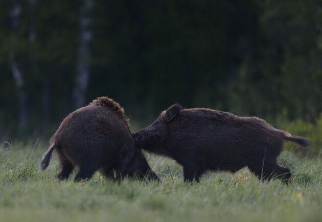 Naturvårdsverket vill se en halvering i på skadorna inom jordbruket från vildsvin i Sverige till 2025.