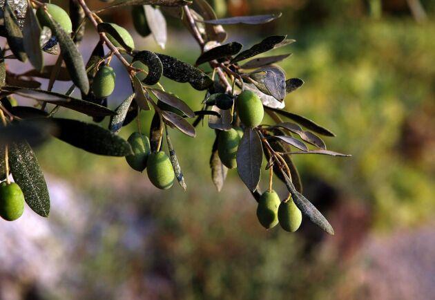 Tunisien väntas dubbla sin produktion av olivolja den här säsongen. Det borde ju vara goda nyheter – men istället dumpas priserna. Arkivbild.