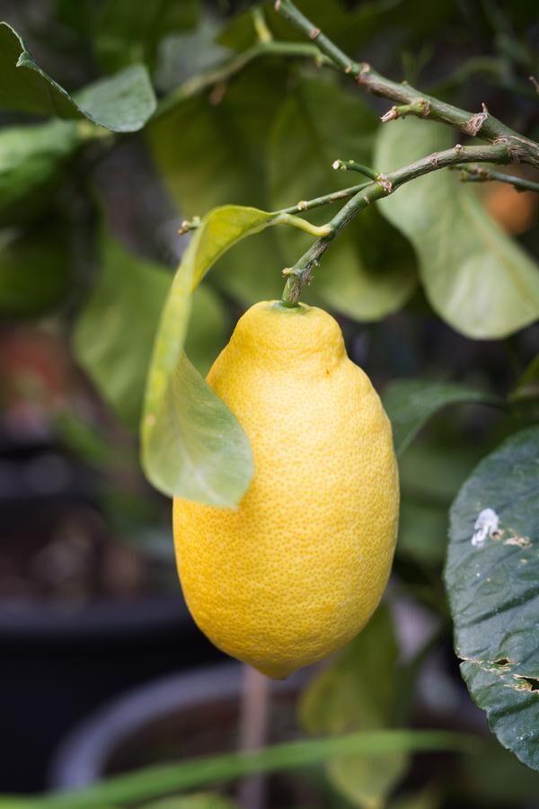 Med rätt inomhusklimat kan du övervintra ditt citronträd.