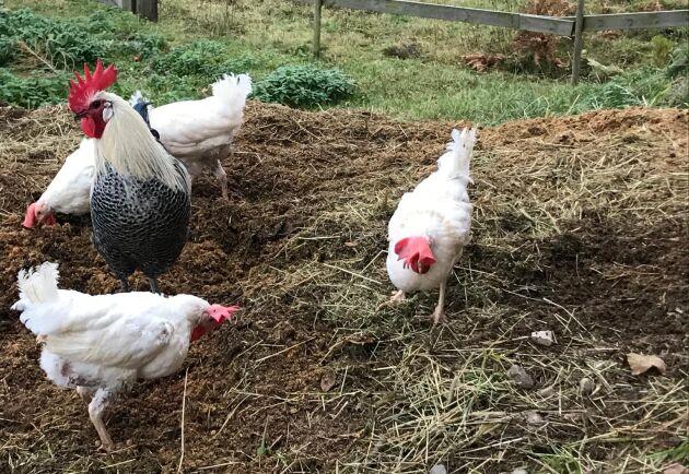 """När hönsen först kom till gården var det svårt att skilja dem åt, så samtliga fick namnet Petra - efter deras räddare. Namnet har levt kvar och även gårdens tupp går under namnet """"Peter den store"""" nu."""