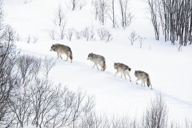 Länsstyrelsen i Jämtland har gjort en anmälan till Datainspektionen gällande dataintrång i Naturvårdsverkets Rovbase.