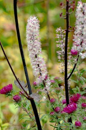Höstsilverax 'Brunette' har ett dekorativt mörkt bladverk som kröns av lysande vita blomspiror på hösten.