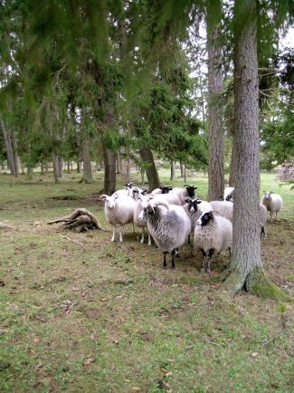 Skogsbete är en av betestyperna som omfattas av satsningen.