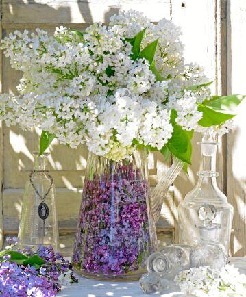 Mormors gamla glaskanna blev perfekt till en stor bukett med vita syrener. Kannan är fylld med lila syrener i vattnet som ger ytterligare effekt men vattnet bör bytas varje dag och bör inte placeras i solljus.