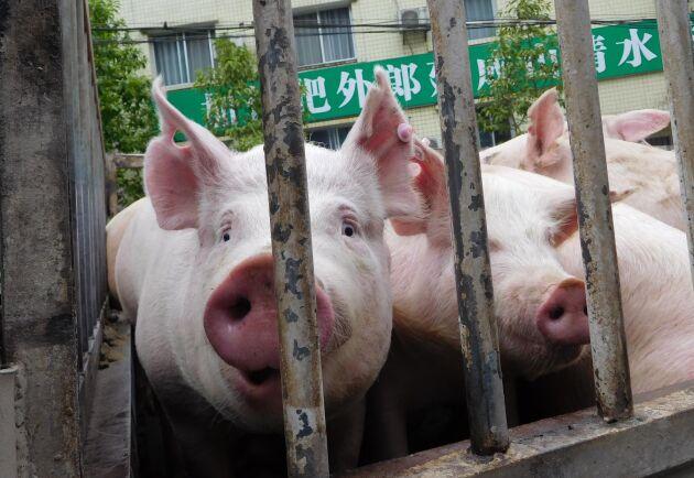 Afrikansk svinpest har slagit hårt mot grishållningen i Kina. På bilden grisar i väntan på undersökning i en desinficeringsstation i Yunyang i Chongqingområdet.