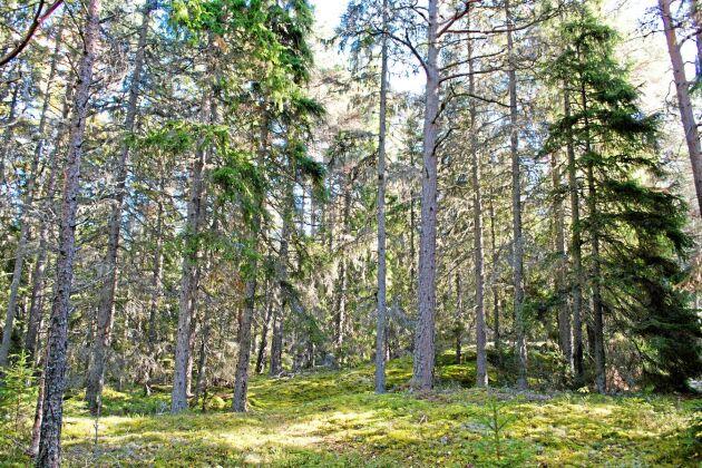 En vanlig produktionsskog i Uppland. Eller?