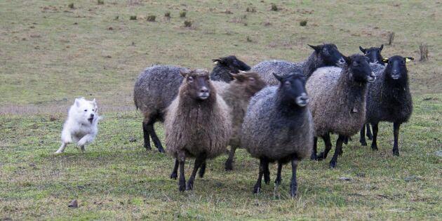 Flisa har full koll på fåren