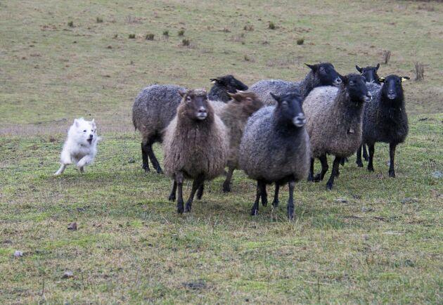 Isländska fårhunden Flisa är högst meriterad i vallning i sin ras i Sverige. Här samlar hon in en fårflock som försöker smita.