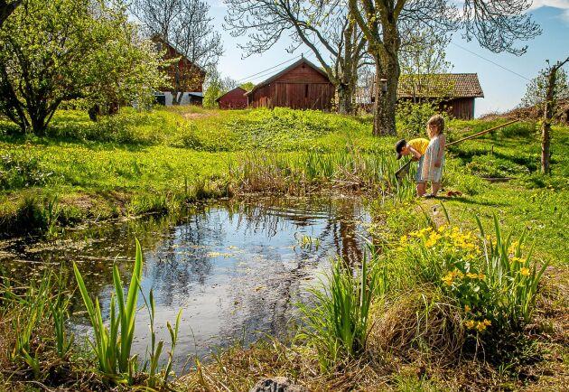 I Ola Jennerstens damm finns det mycket att titta på. I förgrunden blommar kabbelekan.