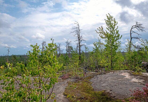 Döda och döende tallar står kvar som ett monument från skogsbranden för 20 år sedan. Nu växer nya tallar och mycket lövträd som björk, asp och sälg upp i nationalparken.