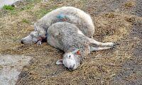 Vargangrepp mot fårgård i Avesta