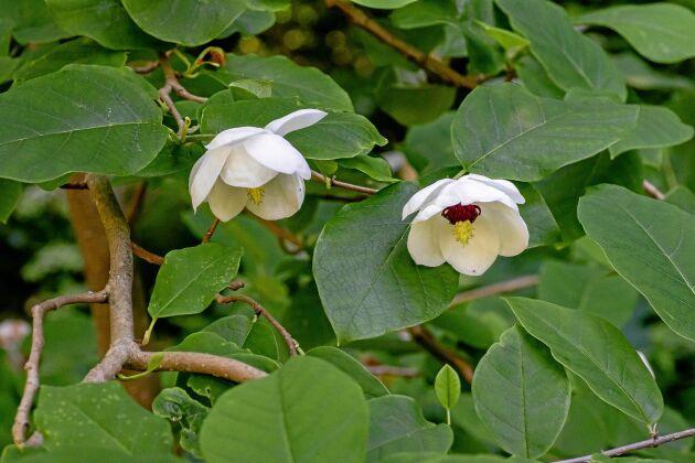 Buskmagnolia har skålformade blommor med kontrasterande mörkröda ståndare.
