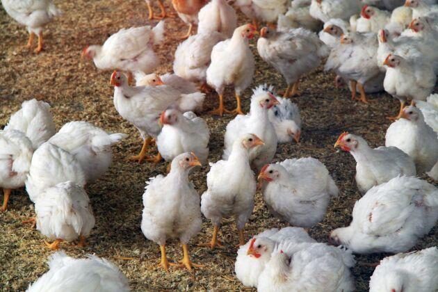 De två intilliggande byggnaderna som låg i riskzonen används också som kycklingstall. Arkivbild. Bilden har ingen koppling till artikeln.