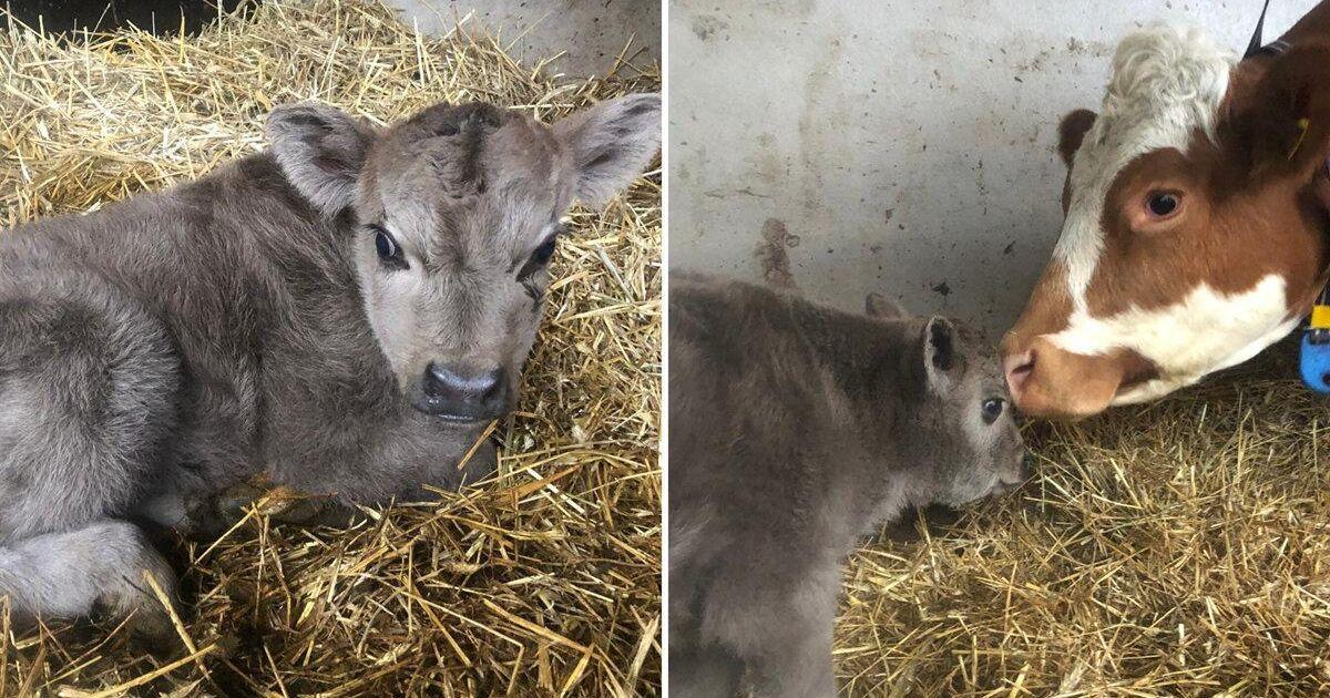 Hårfager kalv kan ge skalliga hopp