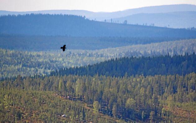 Korpen flyger och kraxar lite oroväckande över skogslanskapet i Västerbottens inland där Sveaskogs Ekopark Käringberget ligger. Från utkiksplatsen ser man att hårt brukat skogslanskap.