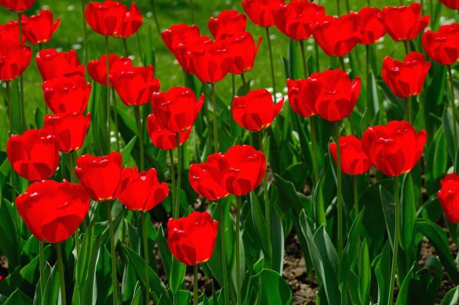 Red Tulips Apeldoorn, Dutch Tulips