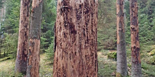 """Krisgrupp mot barkborrar bildas: """"En unik situation"""""""