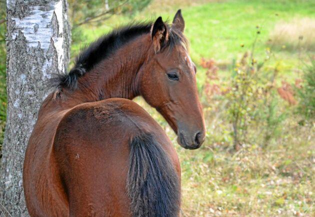Svenskuppfödda hästar blir allt mer eftertraktade av utländska köpare.