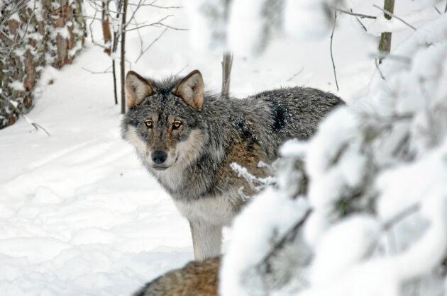 Debattören är kritisk mot den svenska rovdjurspolitiken.