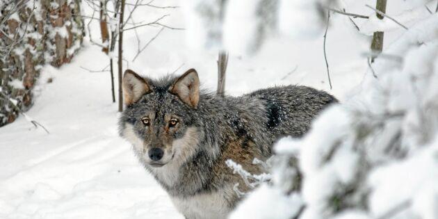 Bristande svensk rovdjurspolitik