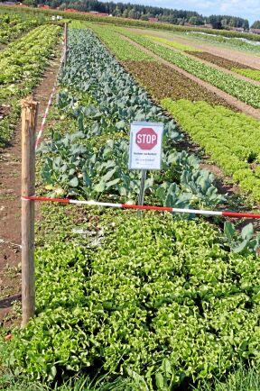 Grönsaker sås i flera omgångar för att det alltid ska finnas jämn tillgång under säsongen.