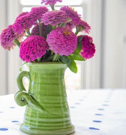 Dvärgzinnian 'Lilleputt' blir 40 centimeter hög och får massor av små bolliga blommor. Inte bara i rosa.