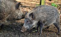 Nya fall av afrikansk svinpest i Belgien