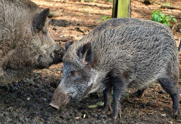 Nya fall av afrikansk svinpest har upptäckts hos vildsvin i Belgien. De har hittats i ett område i provinsen Luxemburg, som hittills har varit hårdast drabbat med 204 konstaterade fall sedan september 2018.