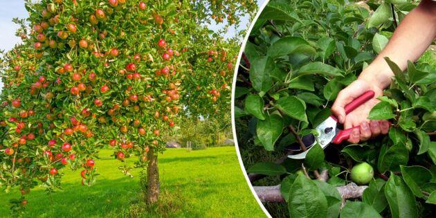 GUIDE: Så får du friska äppelträd – och fler äpplen