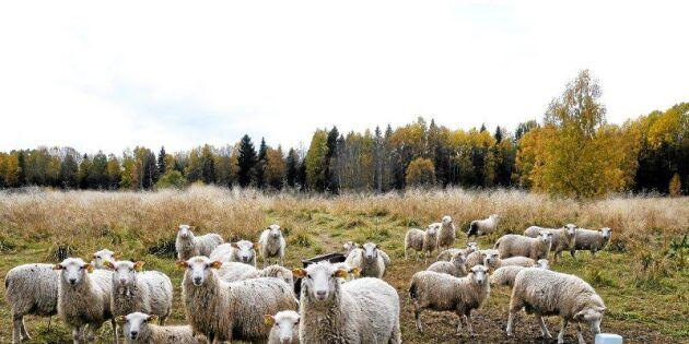Boomen – allt fler fårföretag i Sverige