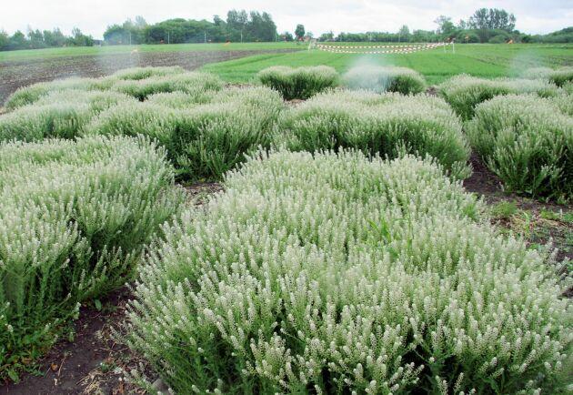 Forskare vid SLU håller på att ta fram en ny gröda, som kan fungera i kyligare temperaturer - fältkrassing.