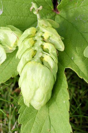 Några av bladen i kotten har tagits bort så att man ser det gula mjöl som innehåller humlens åtråvärda kemiska ämnen.