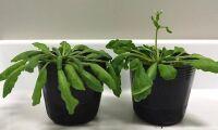 Forskare får växter att blomma fortare