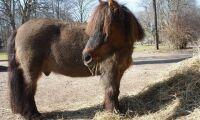 Sveriges äldsta häst har dött