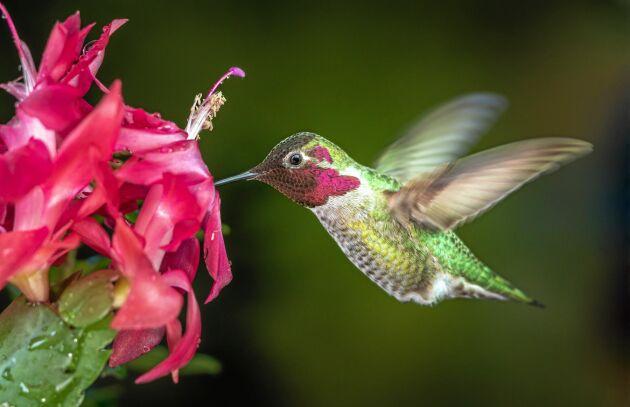 Novemberkaktusen är anpassad för kolibri-fågeln. Pollen fastnar på fågelns huvud och förs vidare.