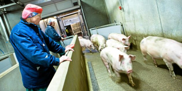 Högtryck i grisbranschen – Kina drar upp priserna